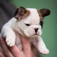 T-cup Mini French Bulldog Puppies for Sale Some of the smallest Pups Ever 50 OFF Discounts Now