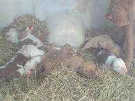 500  Albino Bully XL puppies available c
