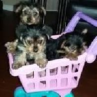 600  Yorkies Puppies For Sale