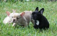 2 500  French Bulldog Puppies    MUST SEE