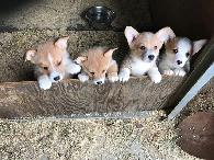 Quality AKC Pembroke Welsh Corgi Puppies Available