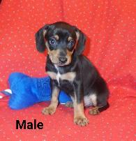650  Mingle puppies 34s Min Pin
