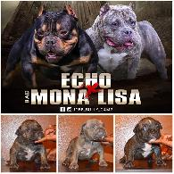 2 500    American Bully micro puppies for sale