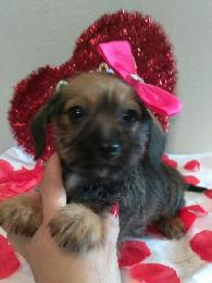 350  Toy Doxiepoo Puppies
