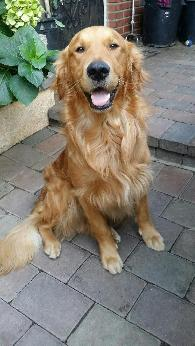 750  Golden Retriever puppies