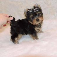 400  Pure breed TEACUP YORKIE   puppies for adoption  both males and females