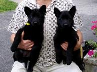 400  Our Quality AKC registered German shepherd puppies for sale50 discount on all puppies