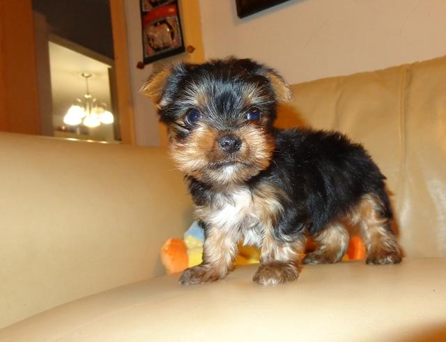 $400, TINY TEA-CUP Yorkie puppies both girls and boys available for ADOPTION