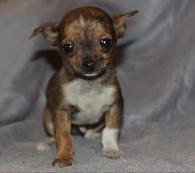 700  Purebred Applehead long hair  merle Chihuahua pups