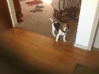 300  Beagle Purebred