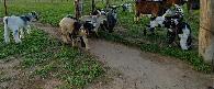 150  Baby Pygmy Goats