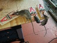 Reaper Rat Removal  Prevention