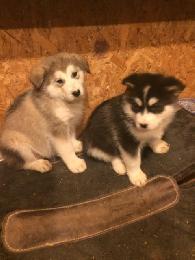 400  Alaskan Malamute AKC pups