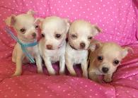 400  QUALITY Applehead Chihuahua Puppies Tan and white - For Sale