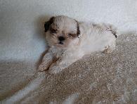 AKC Reg  Shih Tzu  Maltese  and English Bulldogs Puppies for Sale