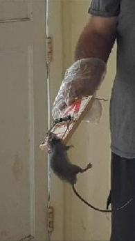 New Years Special Rat Removal  Prevention