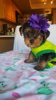 1 000  Male Yorkie Puppy House Trained