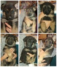 600  Purebred German Shepherd Puppies