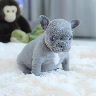 Cute AKC Mini French Bulldog litters ready for Christmas -  Awesome Christmas Gifts