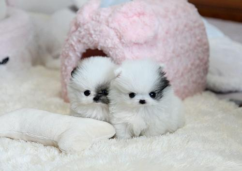 TEACUP PuPPIES - The SMALLEST puppies you will Find  We Finance LARGEST  SELECTION