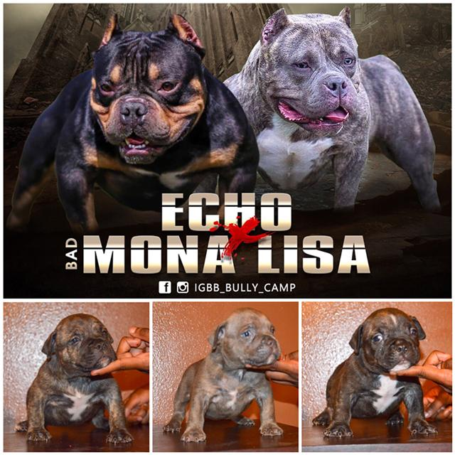 $2,500, American Bully micro puppies for sale