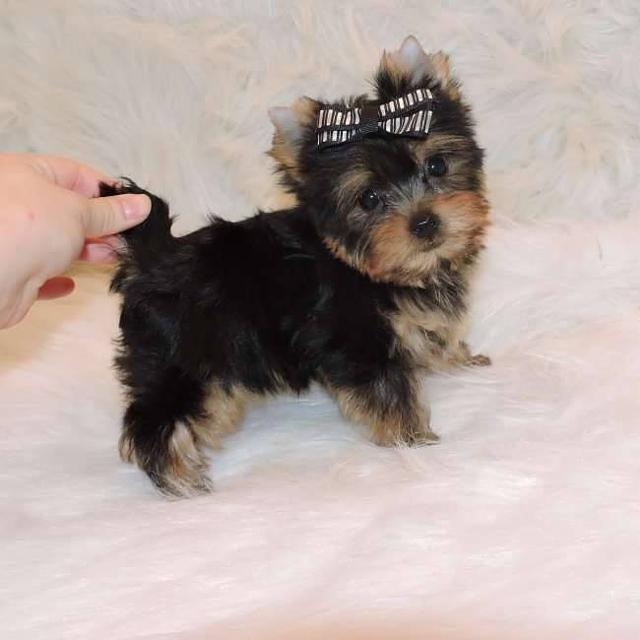 400 Pure Breed Teacup Yorkie Puppies For Adoption Both Males And