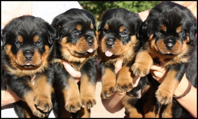 400 Purebred German Rottweiler Puppies For Sale Puppies For