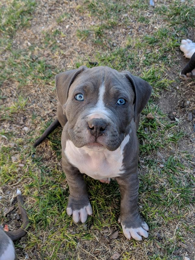 $500, Blue Nose Brindle American Pitbull Terrier Puppies, Born 1242018  XL  BREED, 4 Male Pups, $500 Each